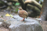 タイの野鳥・ノドアカミヤマテッケイ