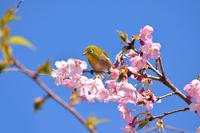 桜にメジロ