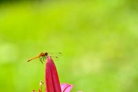 トンボに百合の花