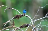 ボルネオの野鳥・アイイロヒタキ