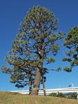 冬囲いをした樹木