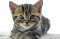 可愛い子猫・アメリカンショートヘアー