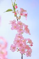 河津桜の晴れ姿