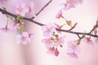 可憐な河津桜