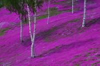 芝桜の彩り