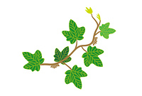 蔦の葉アイビー