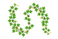 アイビーの蔦の葉