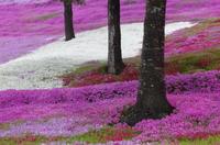 芝桜の香る丘