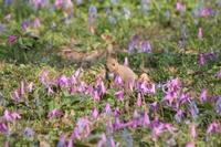 お花畑の中のエゾリス