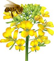 アブラナとミツバチ
