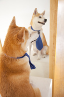 ネクタイをつける柴犬