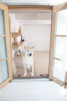 窓から顔を出す柴犬