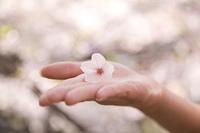 桜の花をのせた女性の手のひら