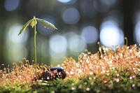 コナラの新芽と苔