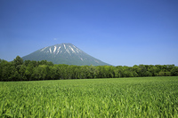 羊蹄山と畑