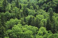 大雪山国立公園の新緑の森