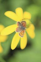 花とベニシジミ