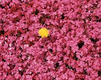 芝桜とタンポポ