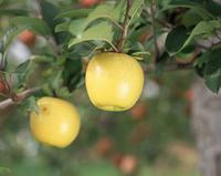 リンゴ(シナノゴールド)