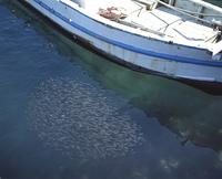 イシモチの幼魚の群れ