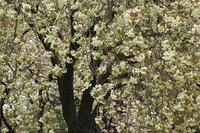 八重桜(鬱金)
