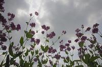 曇り空とクサボタンの花