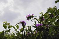 曇り空とトラデスカンチア,アンダーソニア-ナの花