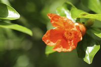 ヒメザクロの花