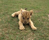 仔ライオン