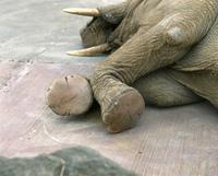 アフリカゾウの足