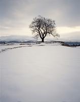 一本の木(桜),,冬,雪の田