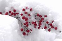 南天の実に雪