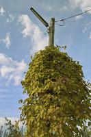 街灯に絡んだ蔓性植物