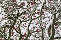 柿の実に雪