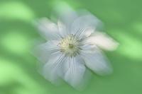 白いクレマチス