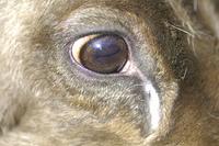 トナカイの目