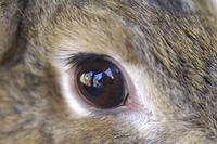 ウサギの目