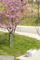 カワヅサクラの木