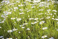 マーガレットのお花畑