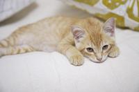 ソファから見つめる上目遣いの子猫
