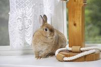 白いカーテンが揺れるリビングで遊ぶウサギ
