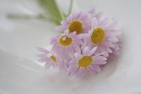 ピンクの小さい花マーガレット