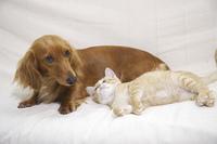 ベッドで仲良しミニチュアダックスと子猫