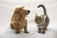 ソファーの上の仲良しダックスと子猫