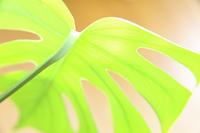 モンステラの葉