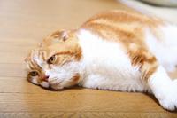 リビングで寛ぐスコティッシュ猫
