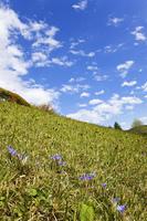 公園の土手に咲くヒメリンドウ