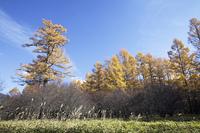 カラマツ林の黄葉