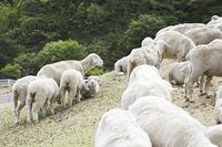 六甲牧場の羊の群れ
