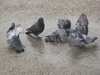 水溜まりで水浴びをするハト